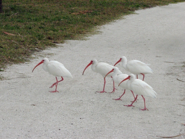 five ibis birds walking EDX