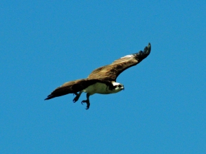 Papa Osprey flying away