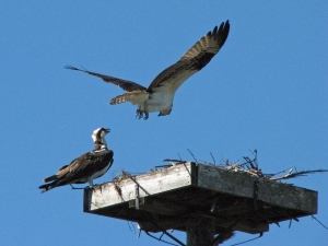 Mama and papa Osprey
