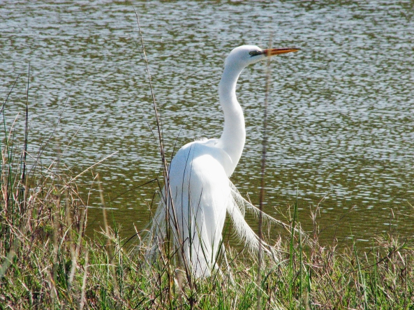Big white egret in the marsh
