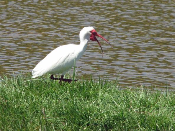 ibis talking