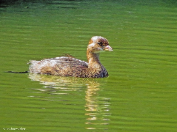 pied-billed grebe ud32